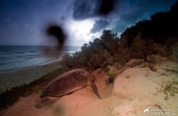 Nesting sea turtle photo after digital processing.