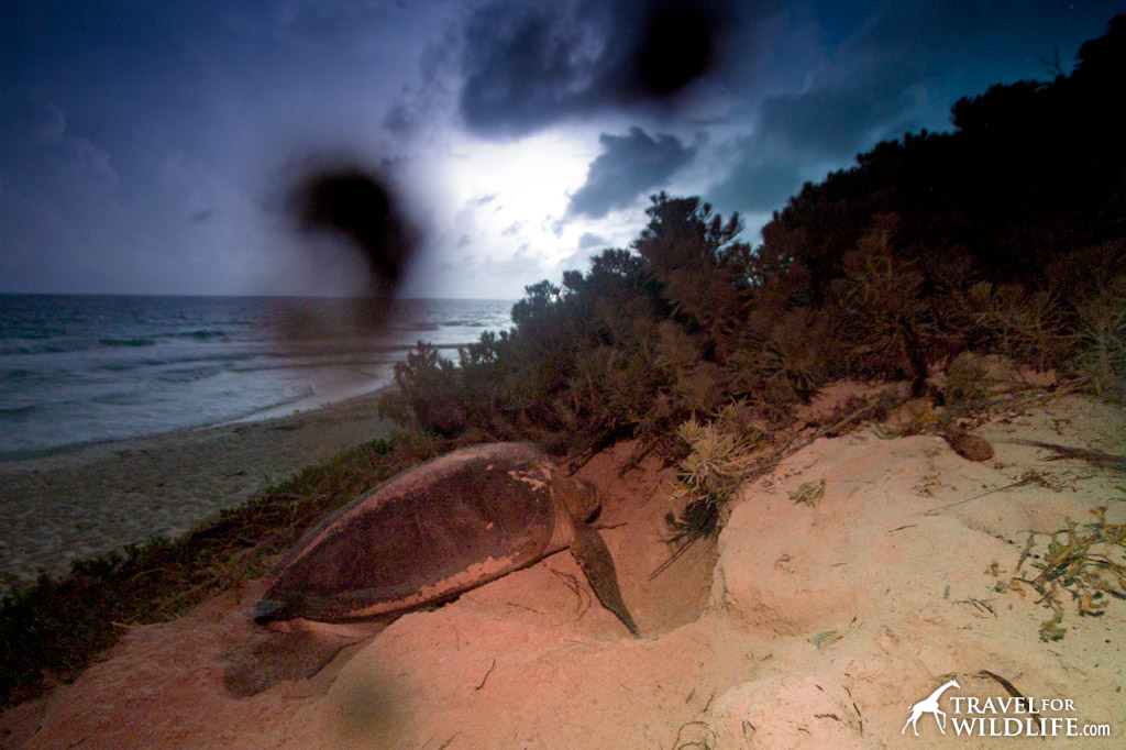 Nesting sea turtle on a dune
