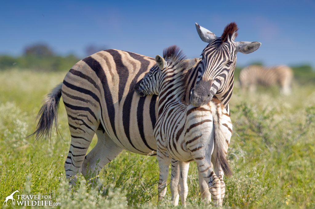 Zebra mother and foal. Etosha National Park, Namibia.