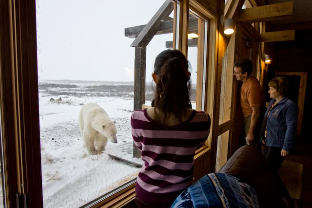 Watching polar bears