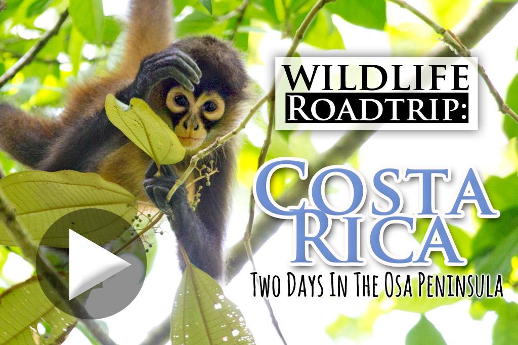 Wildlife Roadtrip in the Osa, Costa Rica (video) - Travel For Wildlife