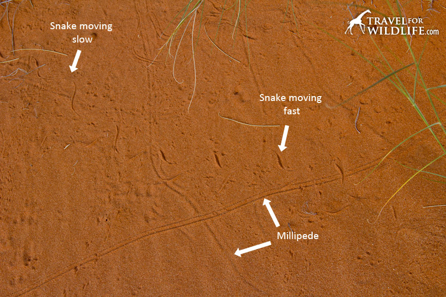 Snake and millipede tracks
