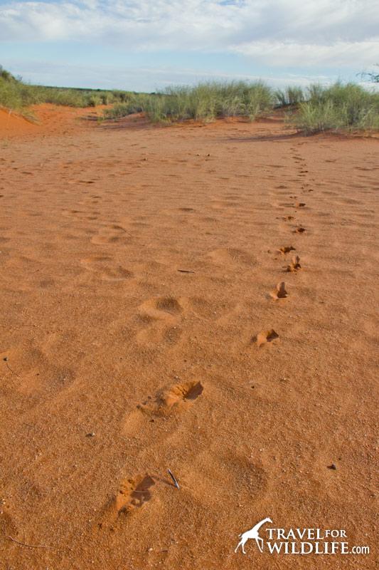 Springbok tracks