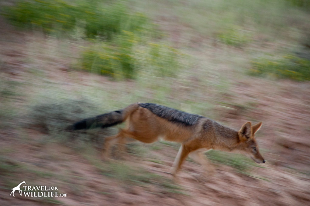 Black backed jackal in the Kalahari