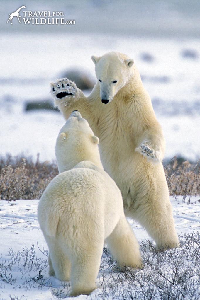 Polar Bears in Manitoba