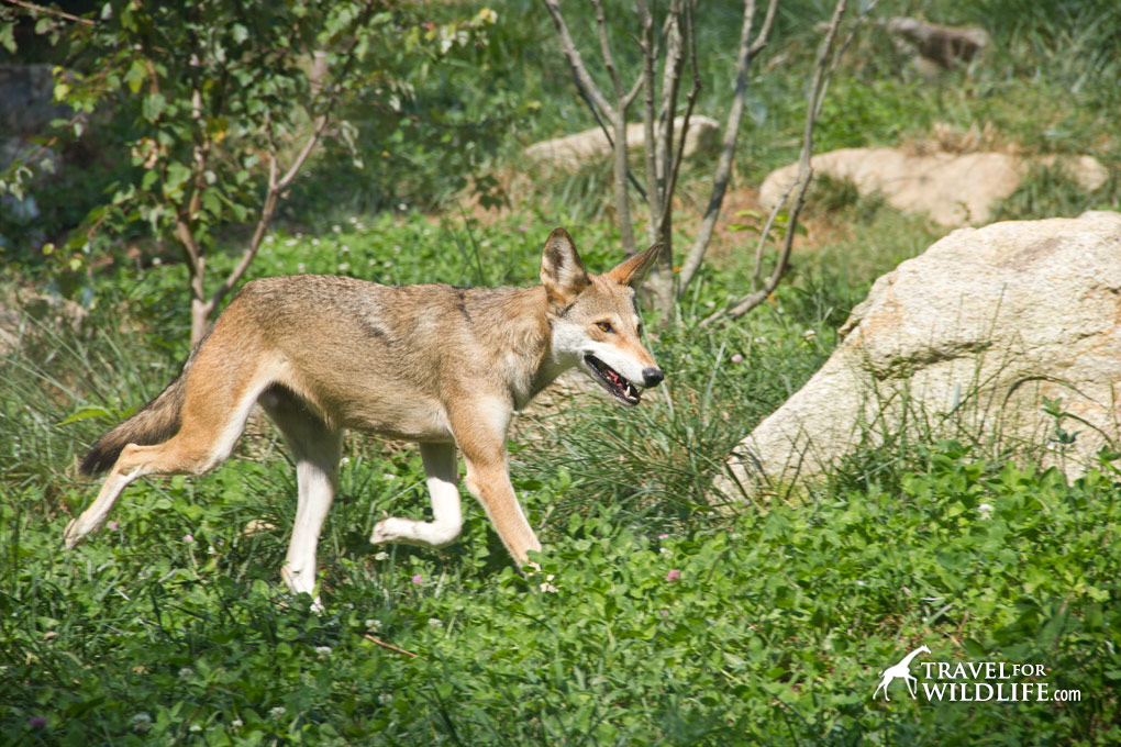 Red wolf at the WNC Nature Center