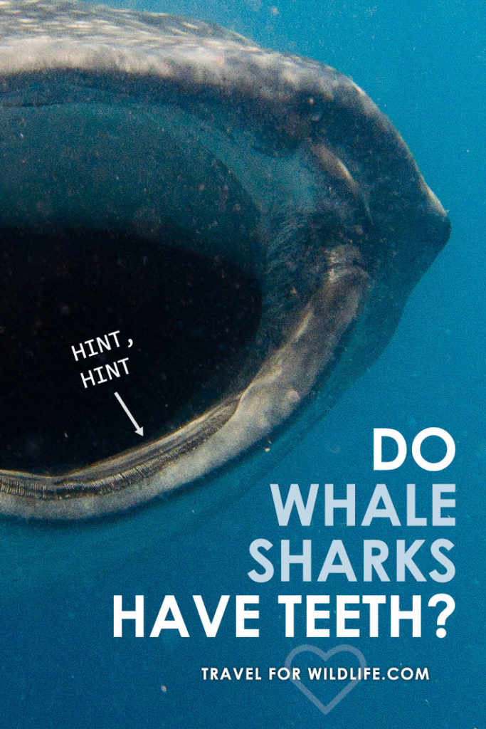 Whale sharks are filter feeders, sifting tiny plankton out of the water. So why do whale sharks have teeth?
