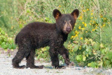 One of North Carolina famous black bears