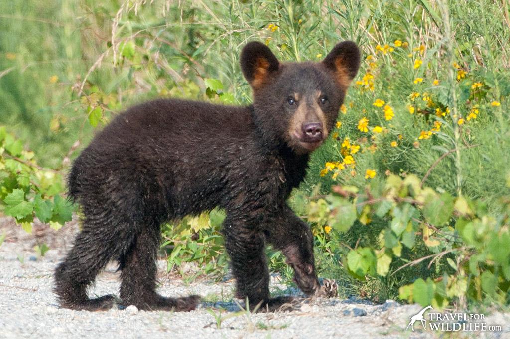 A bear cub looking at the camera.