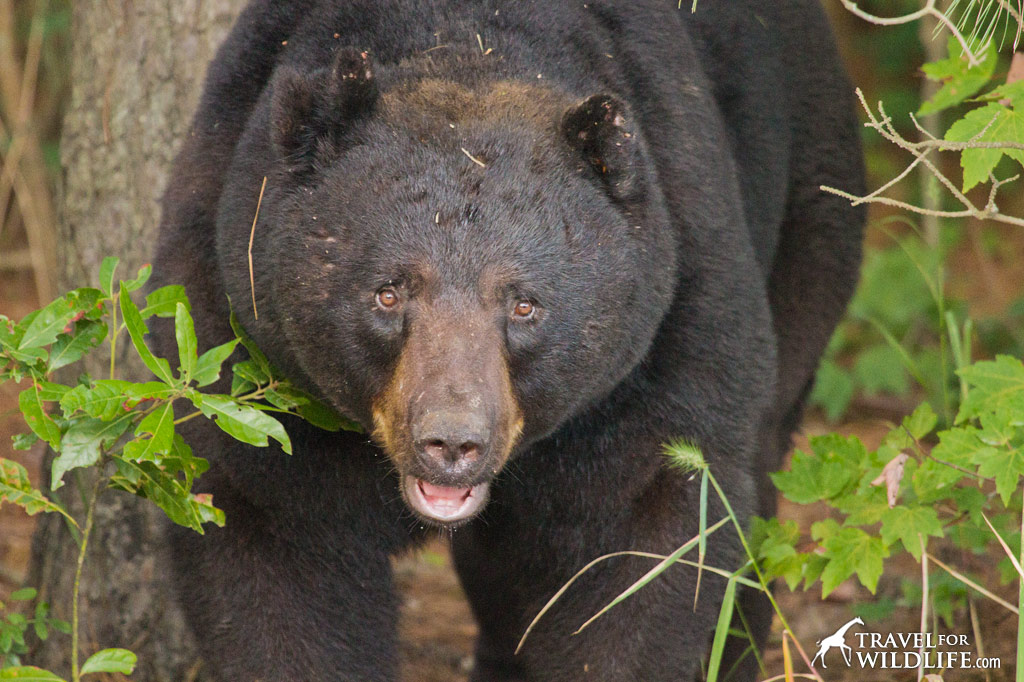 Black Bear in the Alligator River National Wildlife Refuge, NC