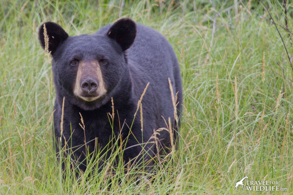 The drive to Thompson can yield great wildlife sightings like this black bear beside the road.
