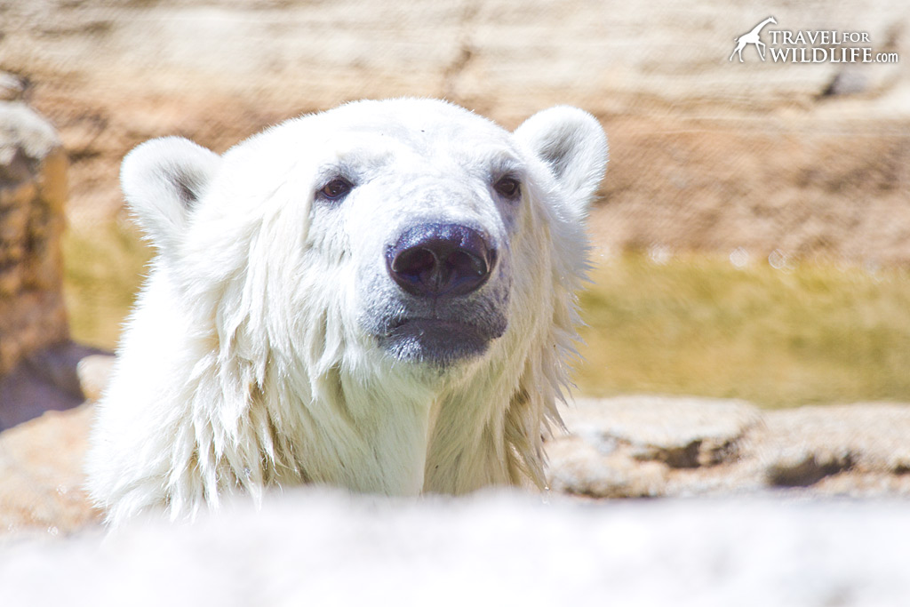 Polar bears are the most famous species of Manitoba wildlife.