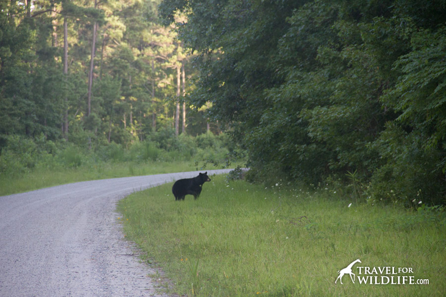 Black bear mother heads into the forest