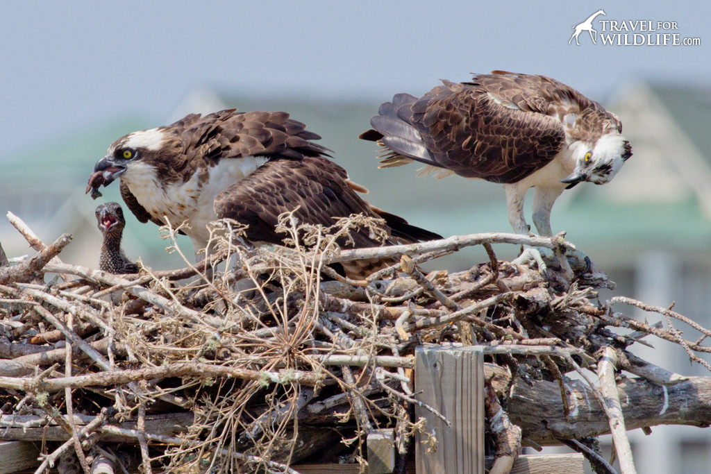 An Osprey mother feeding her chicks in Nags Head, NC