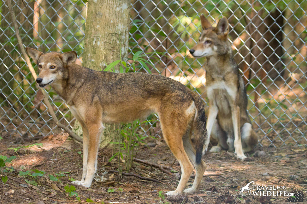 If you'd like to actually lay eyes on a red wolf, try one of the programs managed by the Red Wolf Coalition in Columbia, NC where you can see the ambassador wolves Hank and Betty