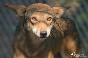 """Betty"" one of the ambassador red wolves in Columbia, NC"