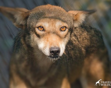 """""""Betty"""" one of the ambassador red wolves in Columbia, NC"""