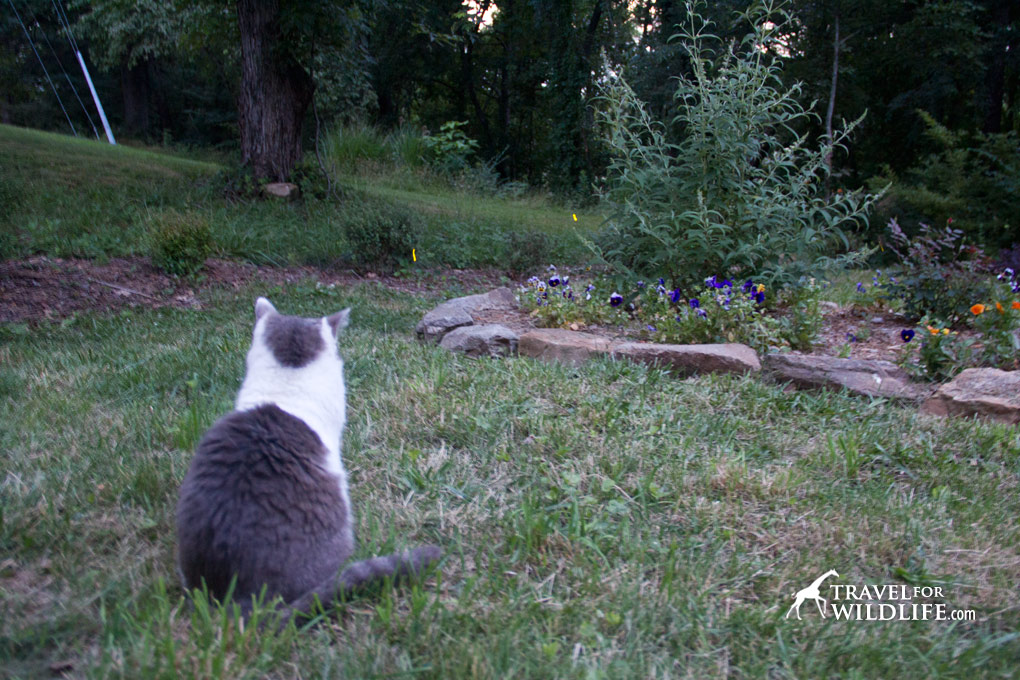 Our cat Sadie loves to watch fireflies