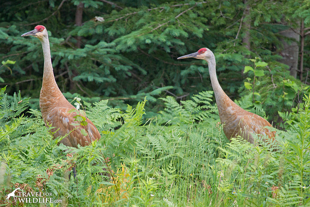 Sandhill cranes near Marquette, Michigan.