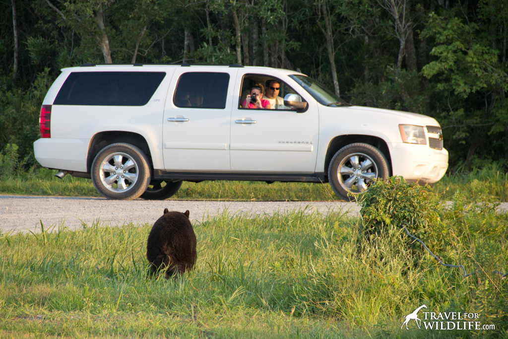You might even see a bear on your way to the red wolf howling program