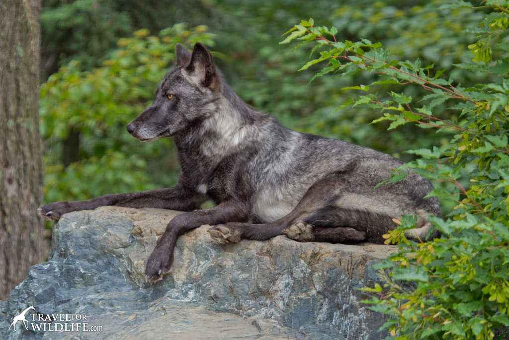 Luna, one of the ambassador wolves at the International Wolf Center