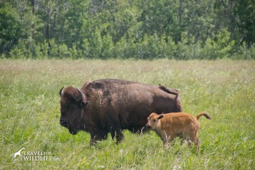 A baby bison in the Fort Whyte Alive bison herd.