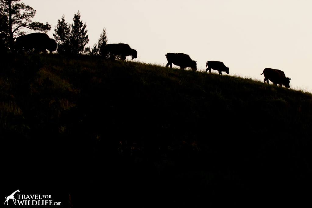 Bison walking on a ridge