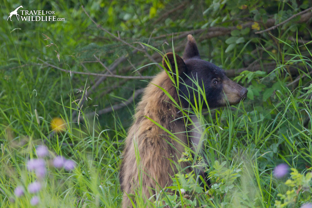 A cinnamon-colored black bear in Riding Mountain