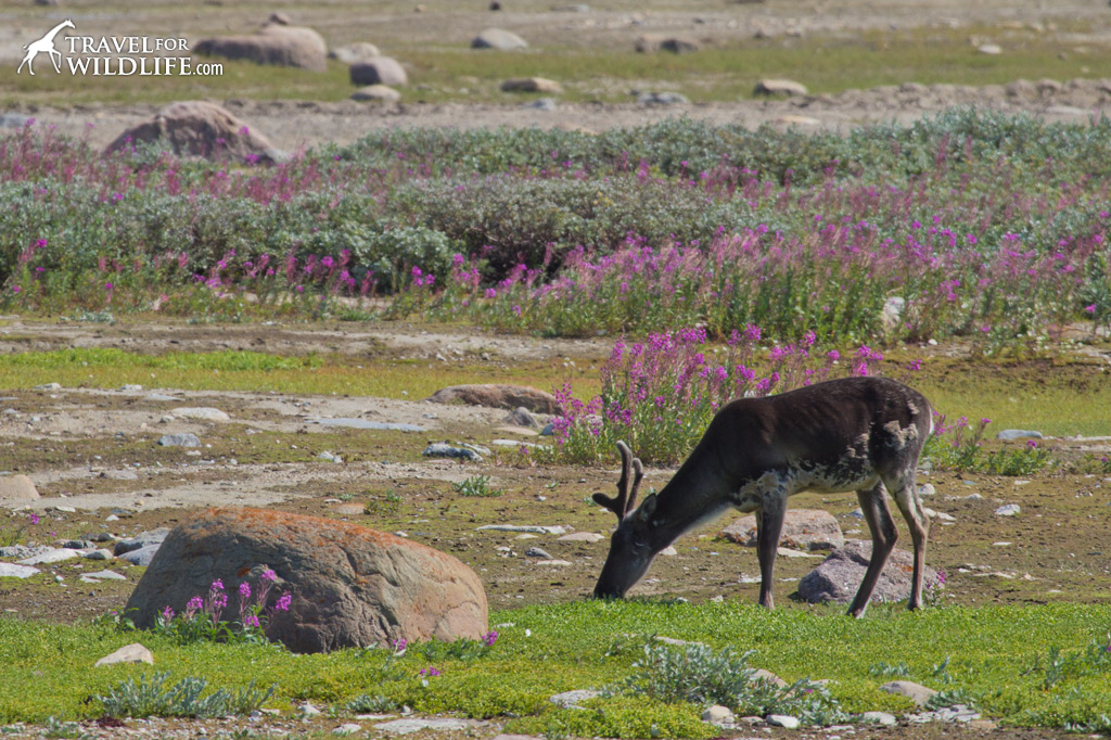 woodland caribou in Churchill, Manitoba