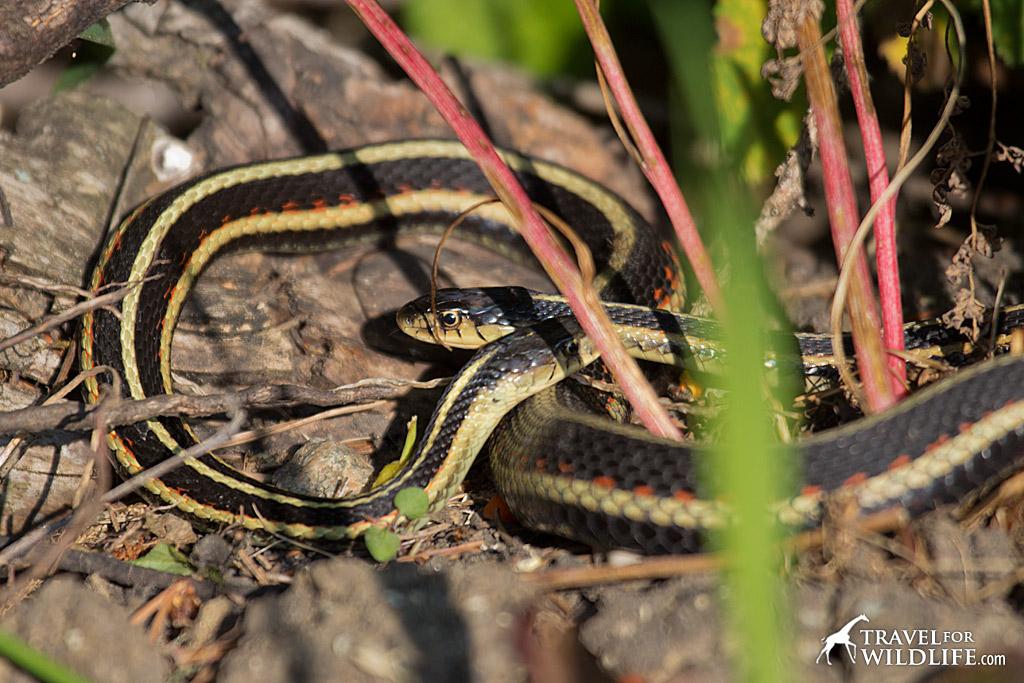 Narcisse Snake Dens in Manitoba
