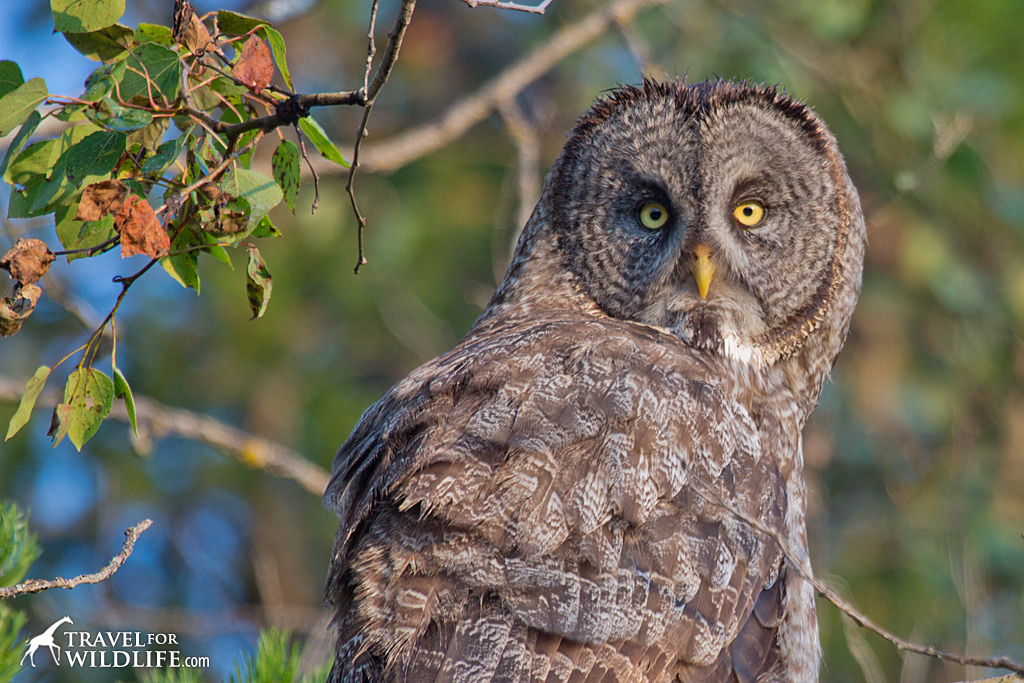 Dang, isn't he awesome? Great Gray Owl, Manitoba