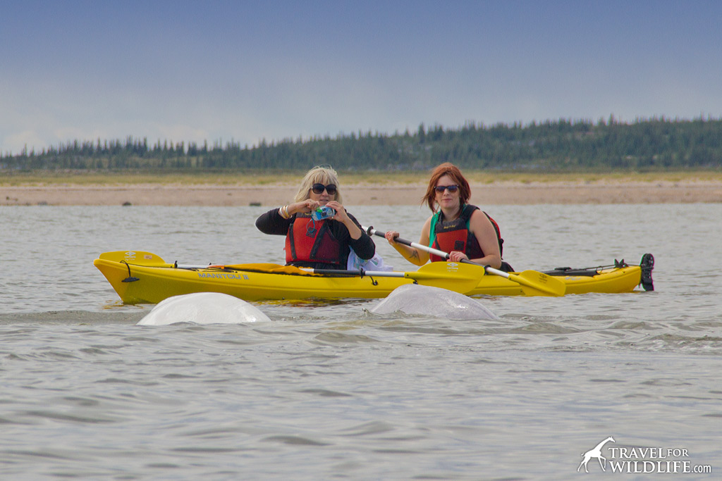 Visitors kayaking with beluga whales in Churchill, Manitoba