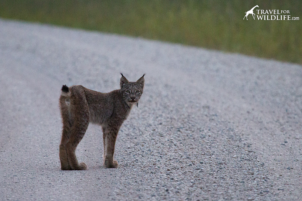 A lynx hunting along the road in Riding Mountain