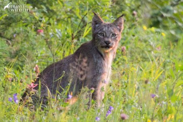A lynx hunting birds by the road in Riding Mountain National Park Manitoba