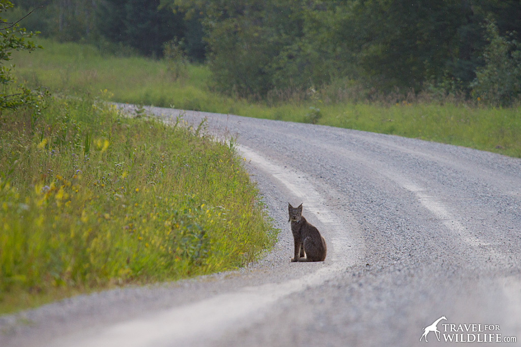 A small form was sitting comfortably in the road.