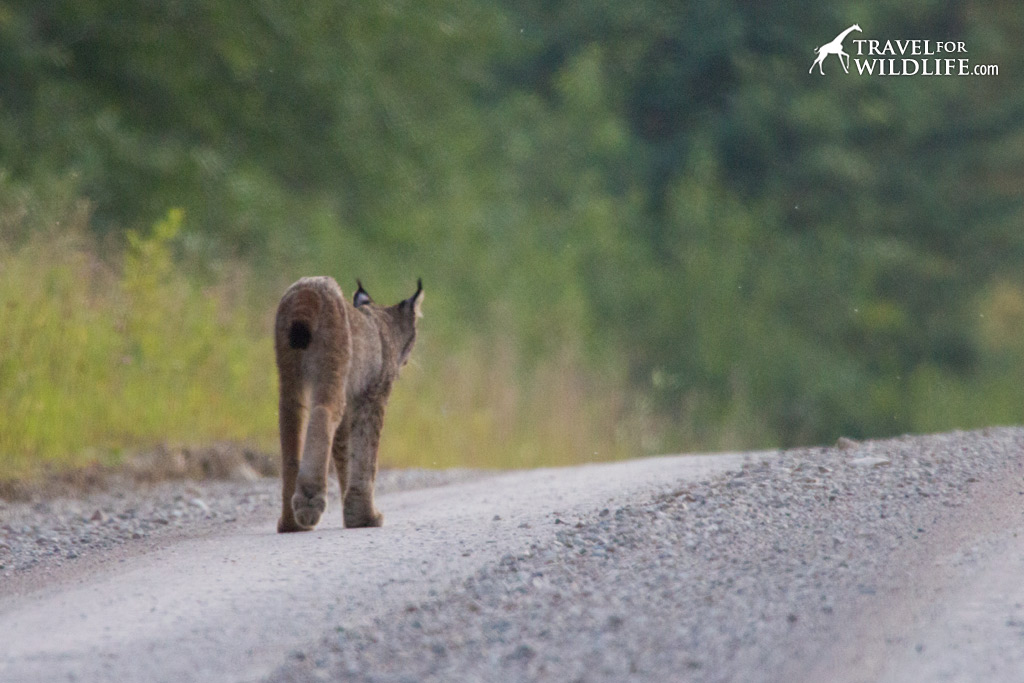 Look at the size of those paws. Lynx in Manitoba.