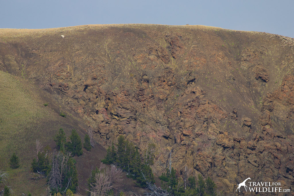 See that tiny white spot? It's a mountain goat climbing a steep cliff out of the Hoodoo Basin in Yellowstone!