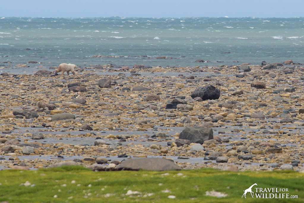Polar Bear 5: A big guy walking along the tidal flats.
