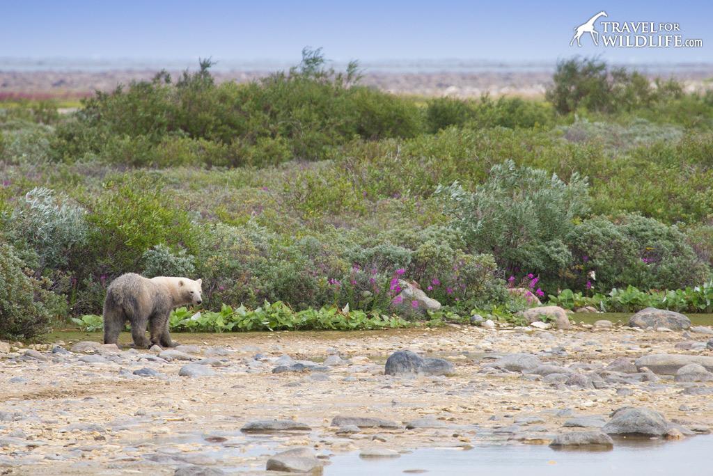 Polar Bear 4: A young bear with a muddy butt.
