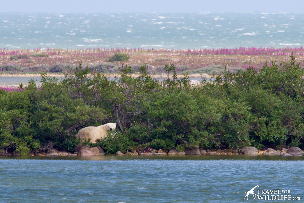 Polar Bear 1: Hiding from the wind and having a nap next to a pond.