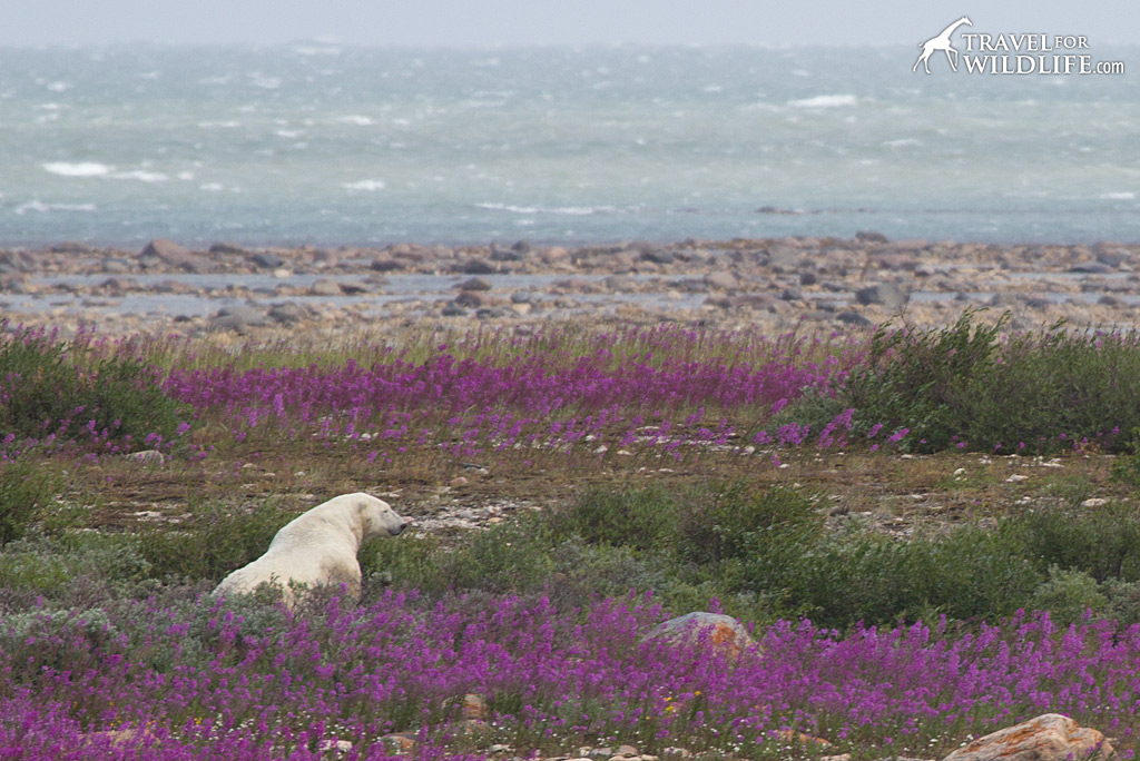 Polar bear napping peacefully in the fireweed.