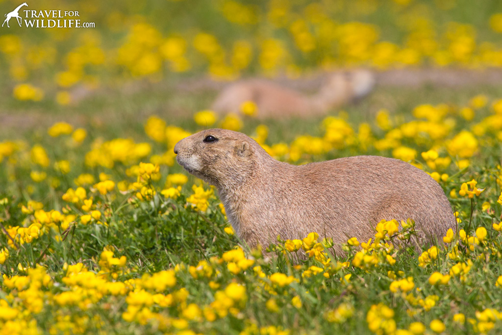 Black-tailed Prairie Dogs living at the Fort Whyte Alive Prairie Dog Town.