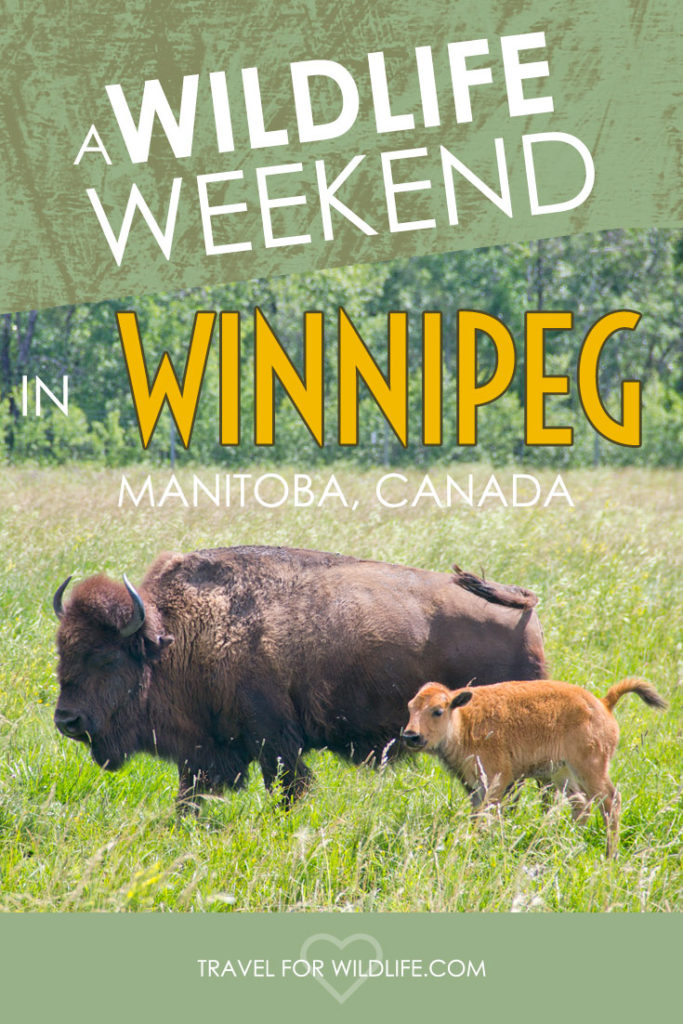Looking for fun wildlife activities in Winnipeg, Manitoba? Here's our top four plus some fun wildlife day trips!
