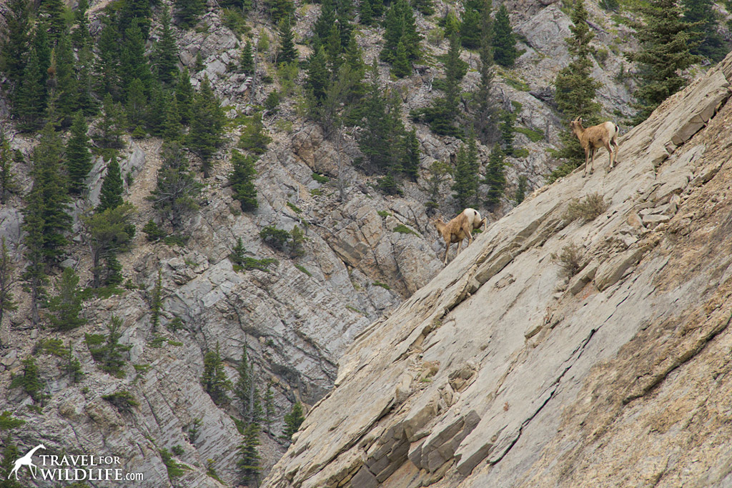Bighorn sheep in the Canadian Rocky Mountains of Alberta