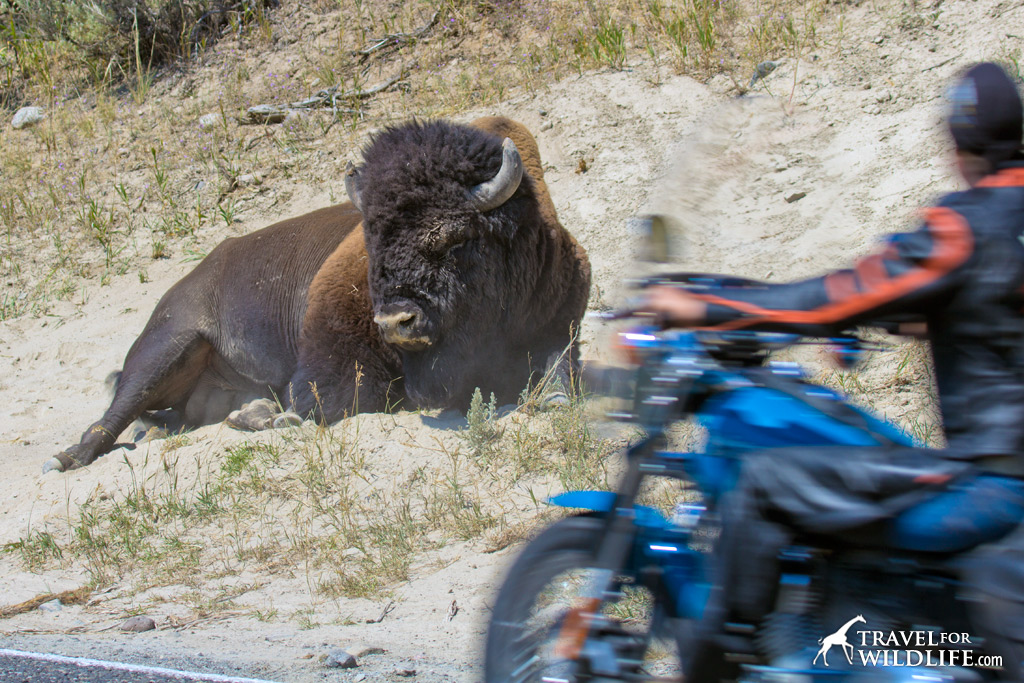 Bison and biker in the Lamar Valley