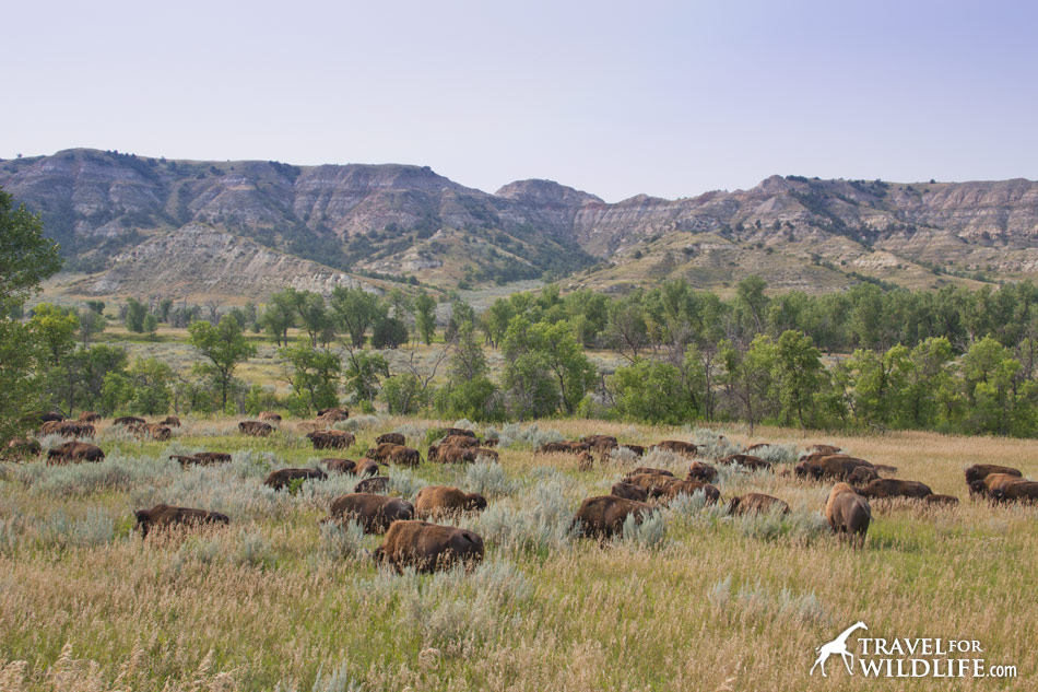 Bison herds resemble the African water buffalo