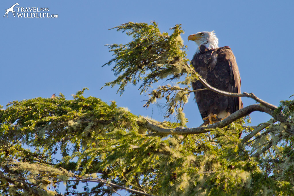 Bald Eagle perched in a tree in the center of Tofino harbor.