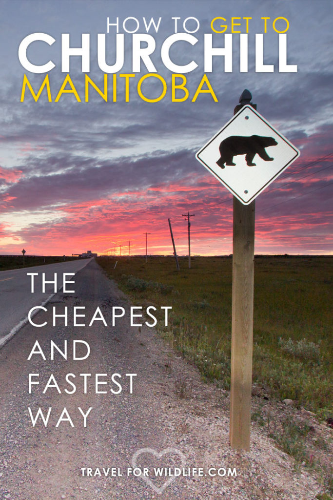 Want to swim with belugas or see the famous Churchill polar bears? Then read this guide on How to get to Churchill Manitoba the cheapest and fastest way!
