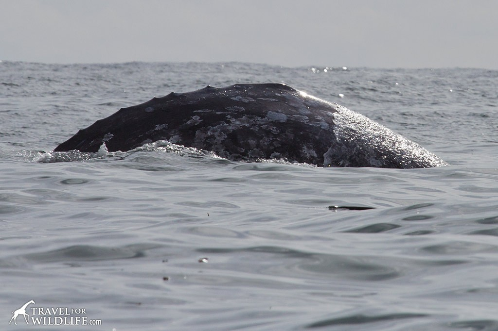 "A gray whale showing the ""knuckles"" behind the dorsal hump. Whale watch with The Whale Centre in Tofino, BC"