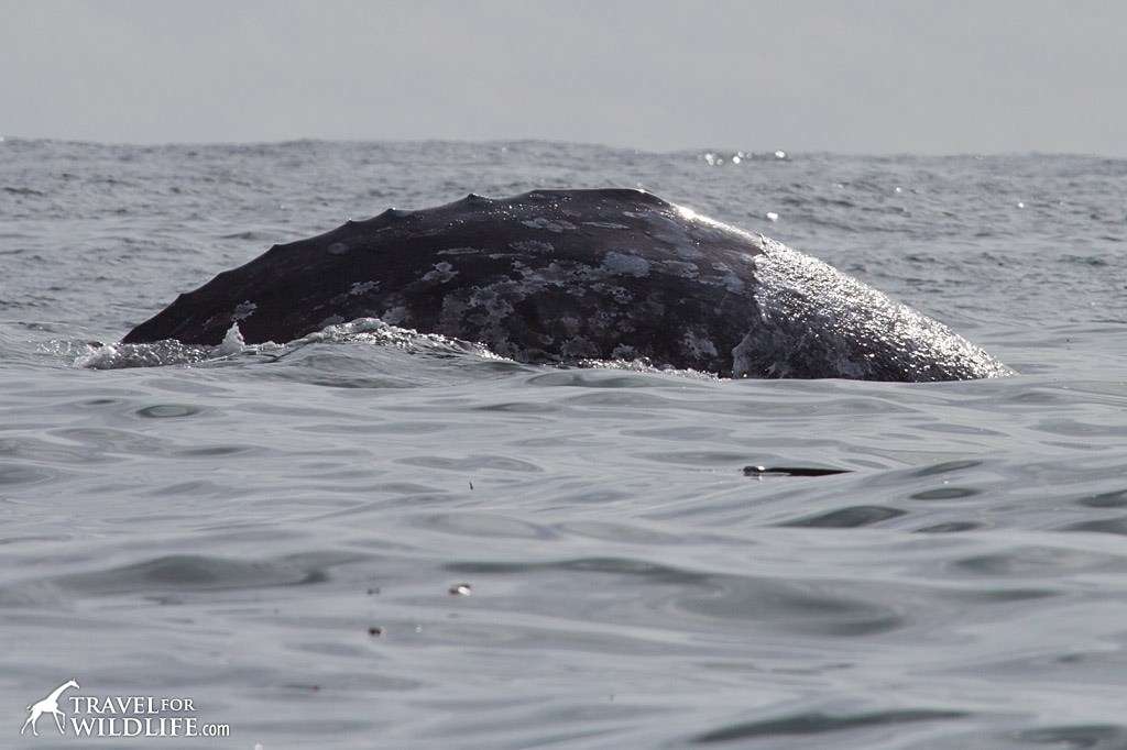 "A Gray Whale showing the ""knuckles"" behind the dorsal hump."